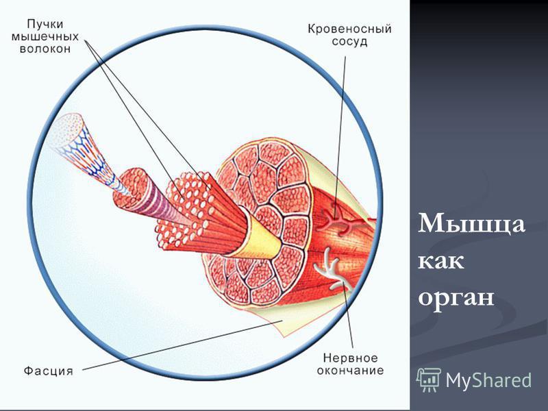 Мышца как орган