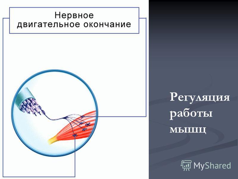 Регуляция работы мышц