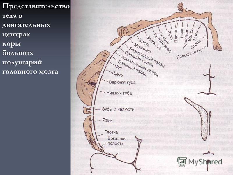 Представительство тела в двигательных центрах коры больших полушарий головного мозга