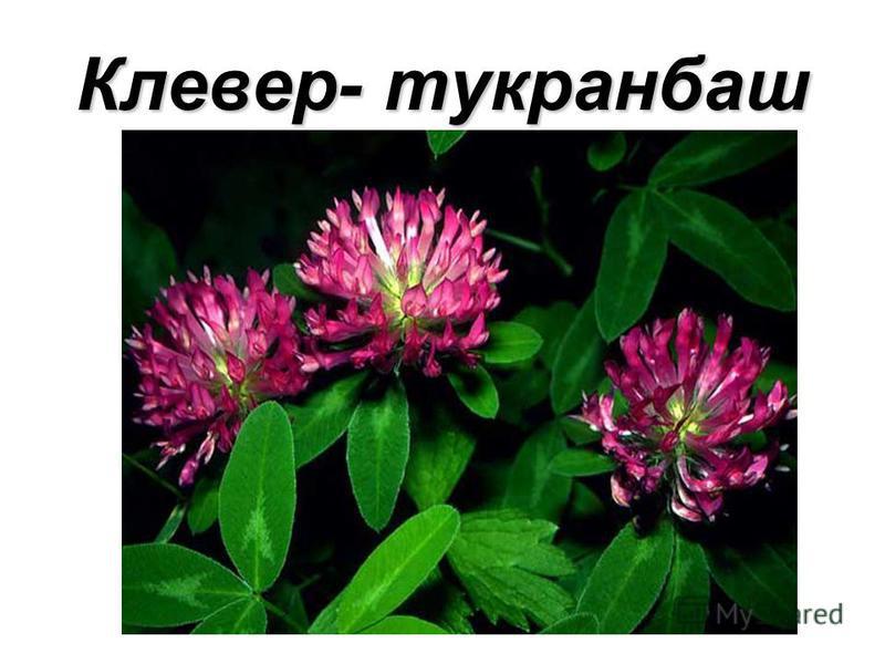 Клевер- тукранбаш