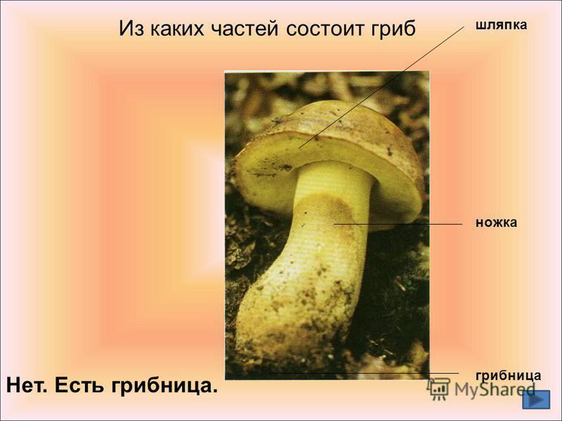 шляпка ножка грибница Из каких частей состоит гриб Нет. Есть грибница.