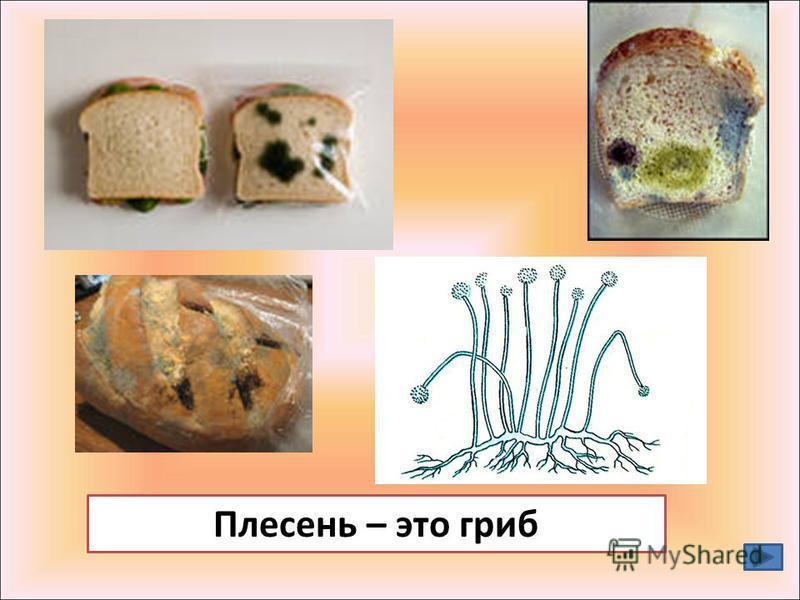 Плесень – это гриб