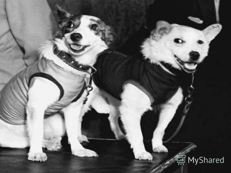 Собаки-космонавты В начале шестидесятых не было в мире более популярных собак, чем советские дворняги - Белка и Стрелка. Еще бы! Им впервые удалось в настоящем космическом корабле больше суток летать вокруг планеты и вернуться домой живыми и невредим