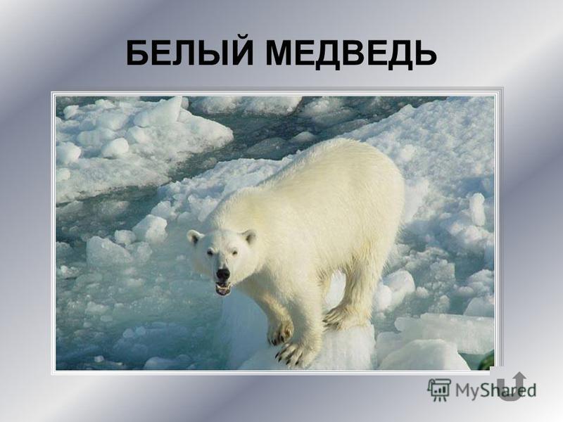 Самый крупный хищник на Земле. Местообитание его – льдины Северного Ледовитого океана.