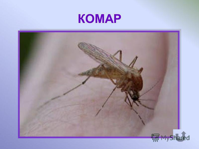 Мелкое двукрылое насекомое, кровососущее, обильно обитающее в тундре.