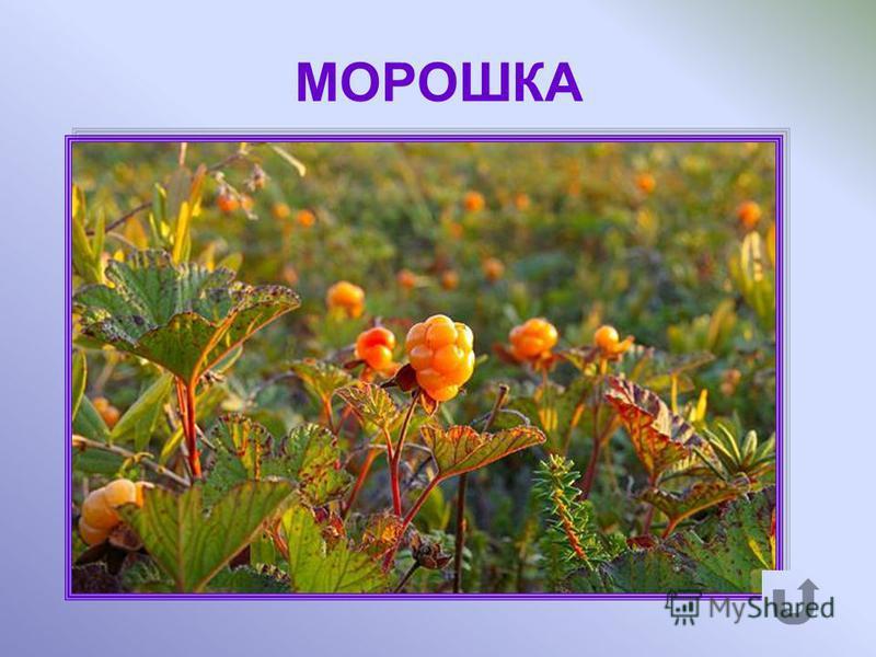 Травянистое многолетние растение. Ближайший родственник малины. Ягоды янтарно-жёлтого цвета.