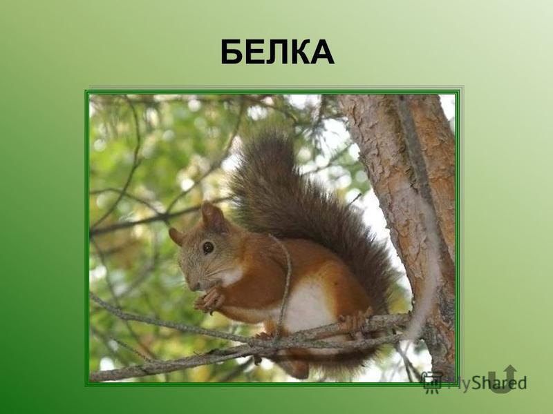 Небольшой лесной зверёк- грызун с пушистым хвостом.