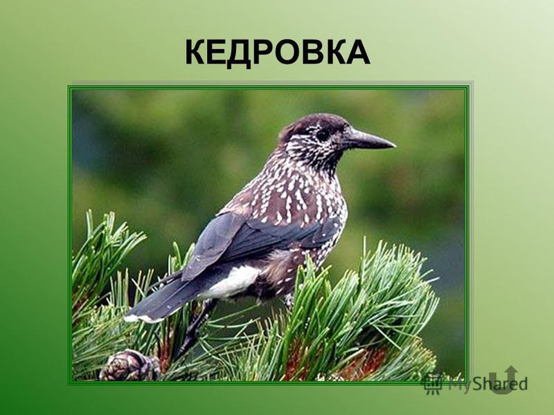 Лесная птица живущая в хвойных лесах и питающаяся кедровыми шишками.