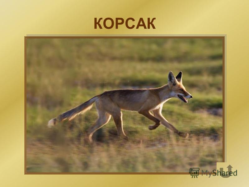 Степная лисичка – гроза молодых зайцев, сурков и мелких грызунов.