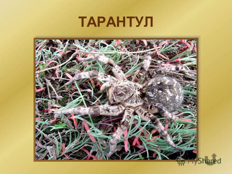 Самый крупный степной паук, ядовит, живёт в норах.