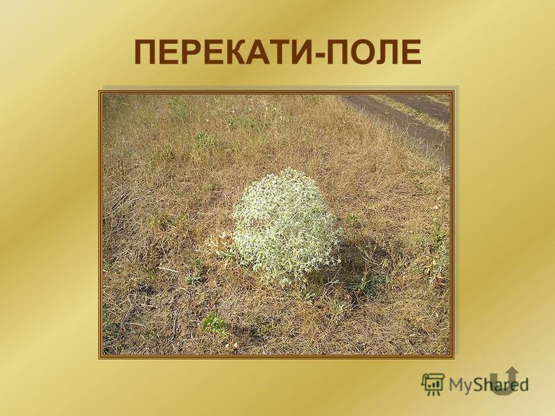 Растения-шары, которые тысячами переносятся ветром по степи, рассеивая семена.