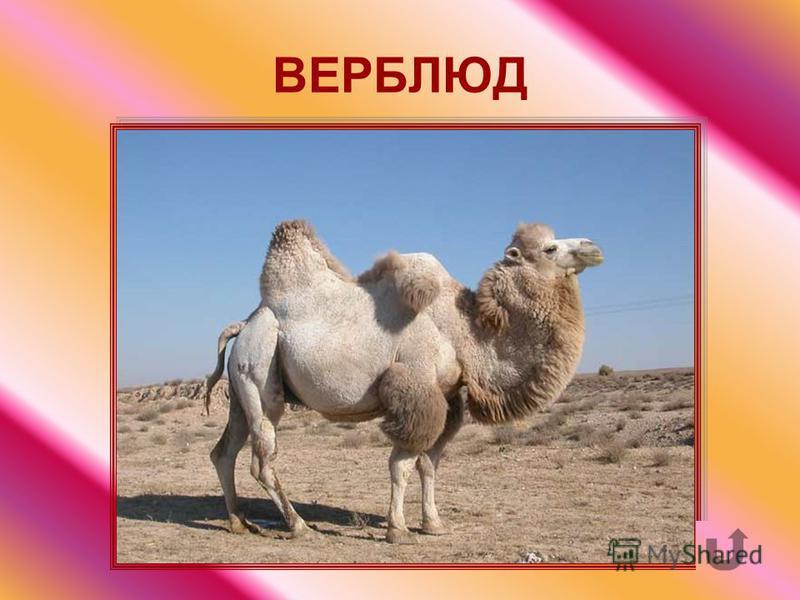 Животное парнокопытное млекопитающее с одним или двумя жировыми горбами. Его называют «кораблём» пустыни.