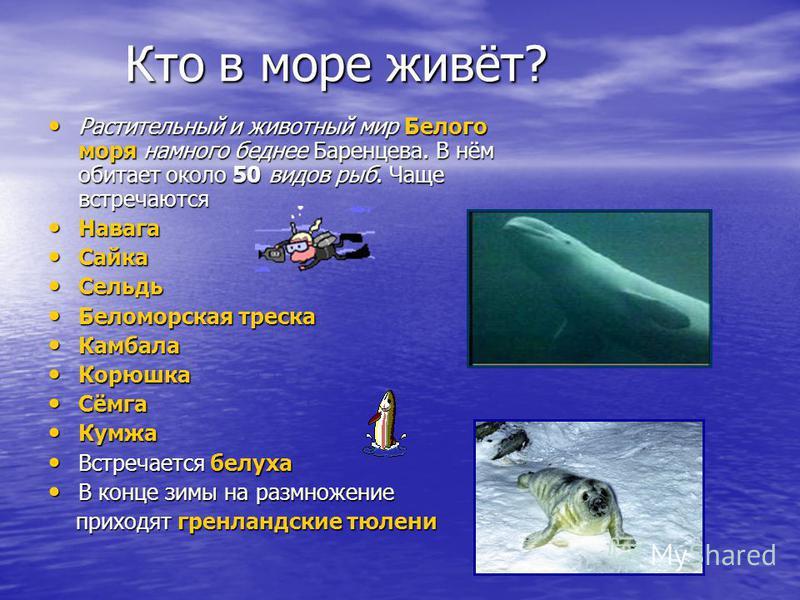 Кто в море живёт? Кто в море живёт? Растительный и животный мир Белого моря намного беднее Баренцева. В нём обитает около 50 видов рыб. Чаще встречаются Растительный и животный мир Белого моря намного беднее Баренцева. В нём обитает около 50 видов ры