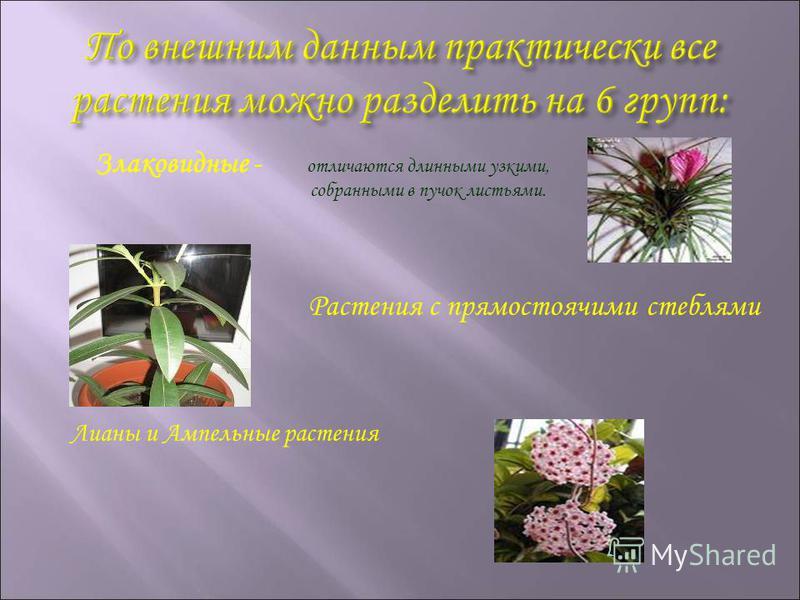 Злаковидные - отличаются длинными узкими, собранными в пучок листьями. Растения с прямостоячими стеблями Лианы и Ампельные растения