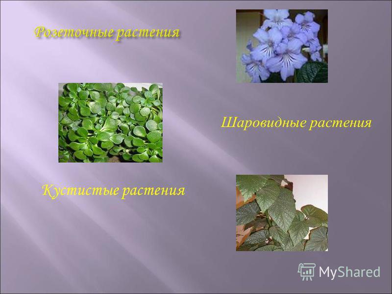 Шаровидные растения Кустистые растения