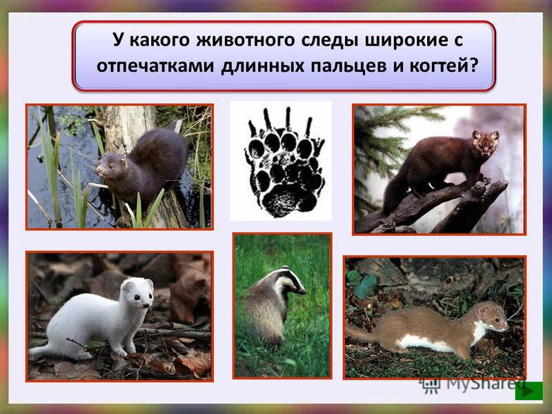 У какого животного следы широкие с отпечатками длинных пальцев и когтей?