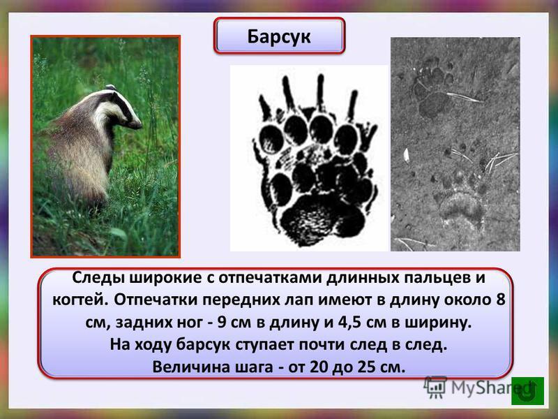 Барсук Следы широкие с отпечатками длинных пальцев и когтей. Отпечатки передних лап имеют в длину около 8 см, задних ног - 9 см в длину и 4,5 см в ширину. На ходу барсук ступает почти след в след. Величина шага - от 20 до 25 см.
