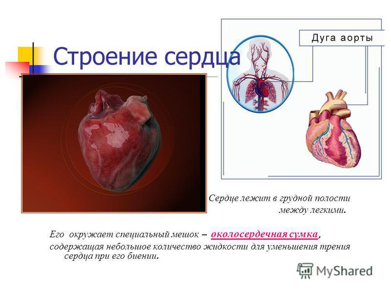 Строение сердца Сердце лежит в грудной полости между легкими. Его окружает специальный мешок – околосердечная сумка, содержащая небольшое количество жидкости для уменьшения трения сердца при его биении.