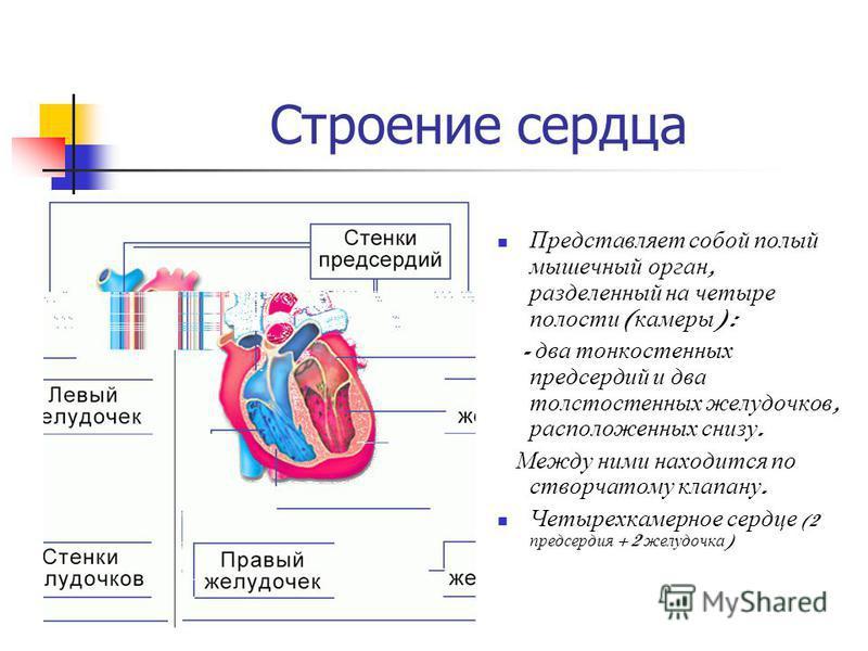 Строение сердца Представляет собой полый мышечный орган, разделенный на четыре полости ( камеры ) : - два тонкостенных предсердий и два толстостенных желудочков, расположенных снизу. Между ними находится по створчатому клапану. Четырехкамерное сердце