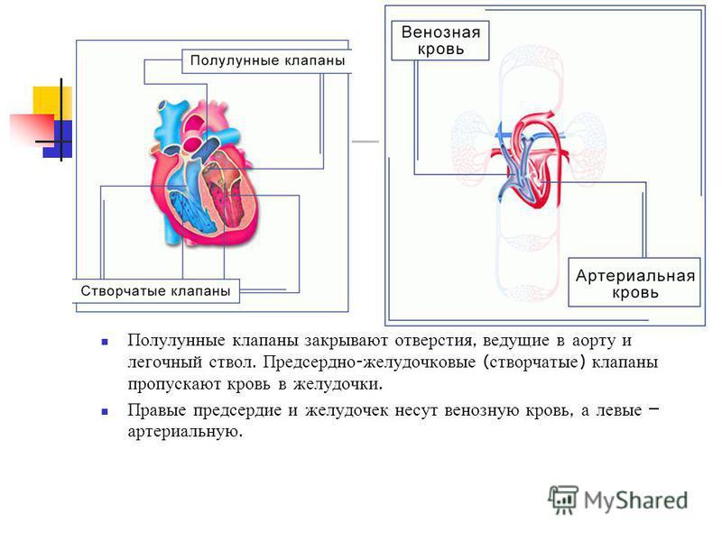 Полулунные клапаны закрывают отверстия, ведущие в аорту и легочный ствол. Предсердно - желудочковые ( створчатые ) клапаны пропускают кровь в желудочки. Правые предсердие и желудочек несут венозную кровь, а левые – артериальную.