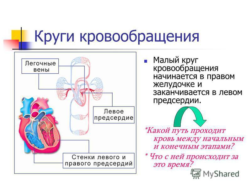 Круги кровообращения Малый круг кровообращения начинается в правом желудочке и заканчивается в левом предсердии. *Какой путь проходит кровь между начальным и конечным этапами? * Что с ней происходит за это время?