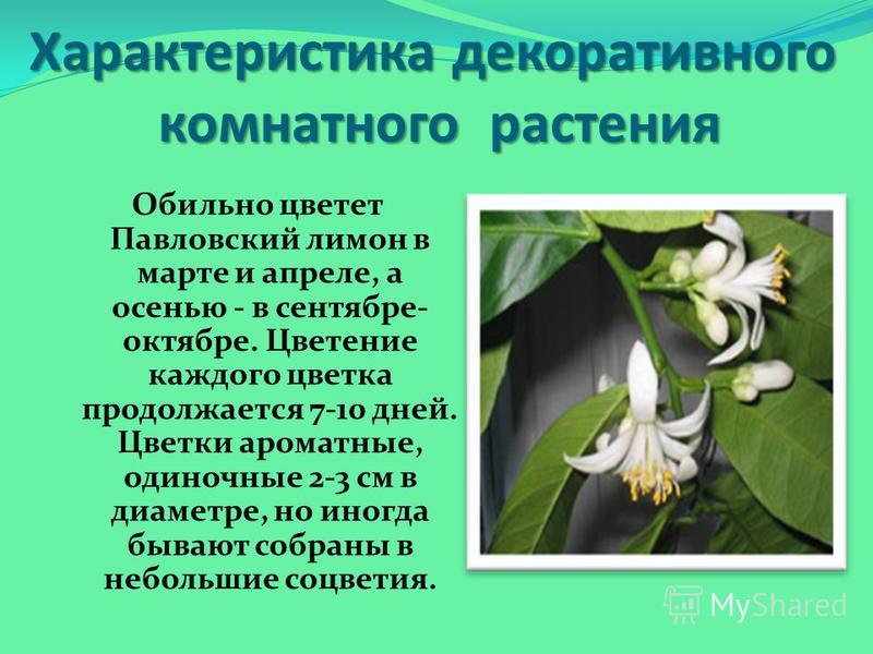 Обильно цветет Павловский лимон в марте и апреле, а осенью - в сентябре- октябре. Цветение каждого цветка продолжается 7-10 дней. Цветки ароматные, одиночные 2-3 см в диаметре, но иногда бывают собраны в небольшие соцветия. Характеристика декоративно