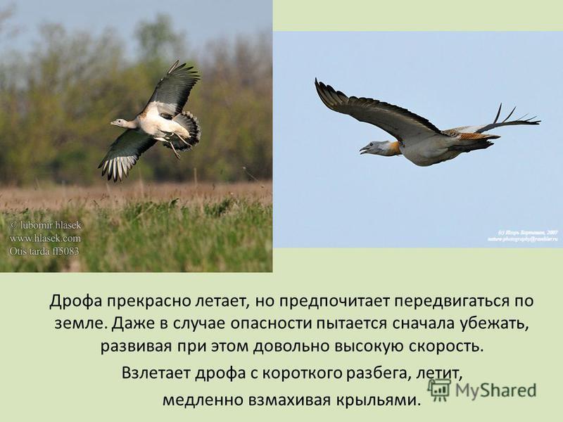 Дрофа прекрасно летает, но предпочитает передвигаться по земле. Даже в случае опасности пытается сначала убежать, развивая при этом довольно высокую скорость. Взлетает дрофа с короткого разбега, летит, медленно взмахивая крыльями.
