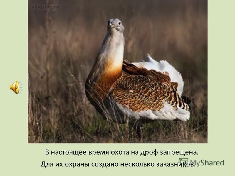 В настоящее время охота на дроф запрещена. Для их охраны создано несколько заказников.