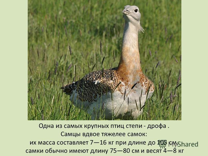 Одна из самых крупных птиц степи - дрофа. Самцы вдвое тяжелее самок: их масса составляет 716 кг при длине до 105 см, самки обычно имеют длину 7580 см и весят 48 кг