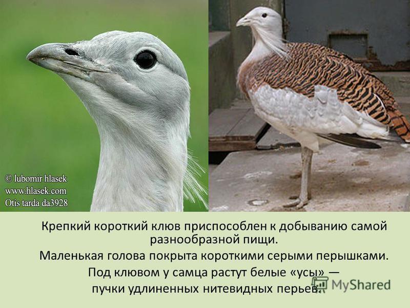Крепкий короткий клюв приспособлен к добыванию самой разнообразной пищи. Маленькая голова покрыта короткими серыми перышками. Под клювом у самца растут белые «усы» пучки удлиненных нитевидных перьев.