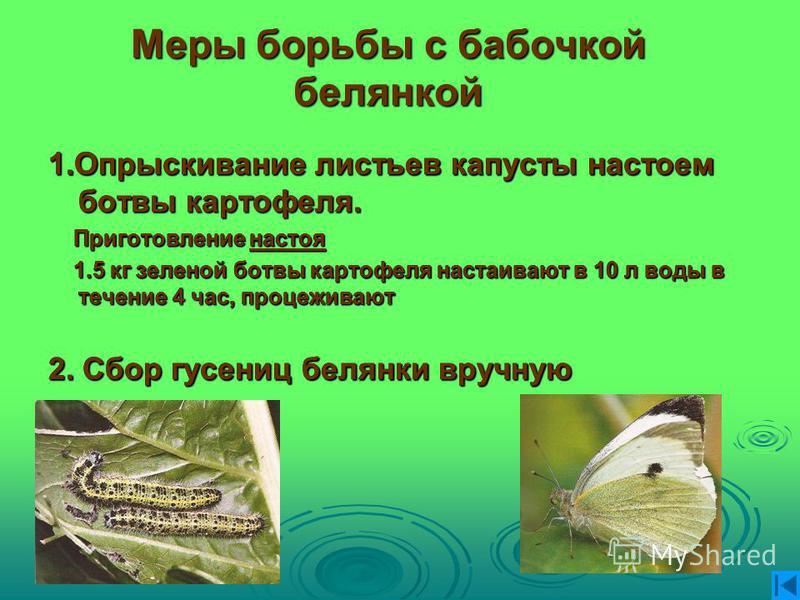 Меры борьбы с бабочкой белянкой 1. Опрыскивание листьев капусты настоем ботвы картофеля. Приготовление настоя Приготовление настоя 1.5 кг зеленой ботвы картофеля настаивают в 10 л воды в течение 4 час, процеживают 1.5 кг зеленой ботвы картофеля наста