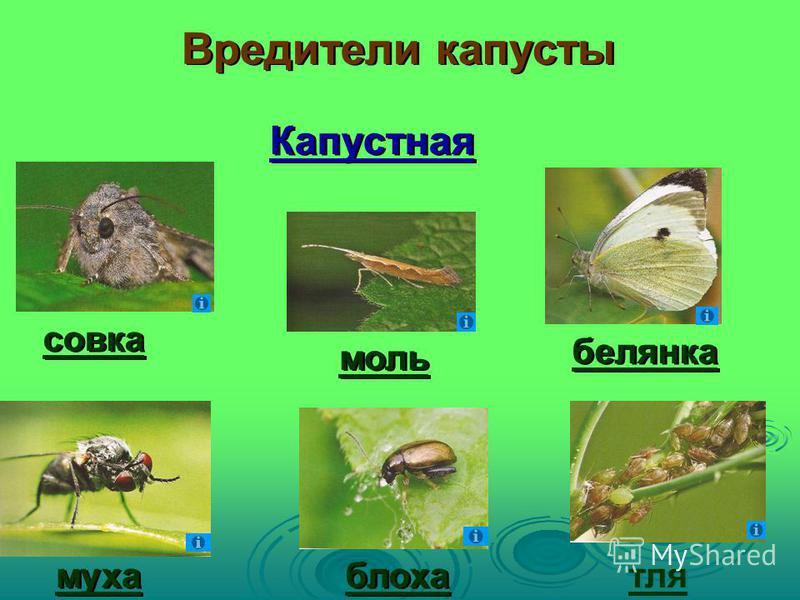 Капустная моль белянка совка блоха муха тля Вредители капусты