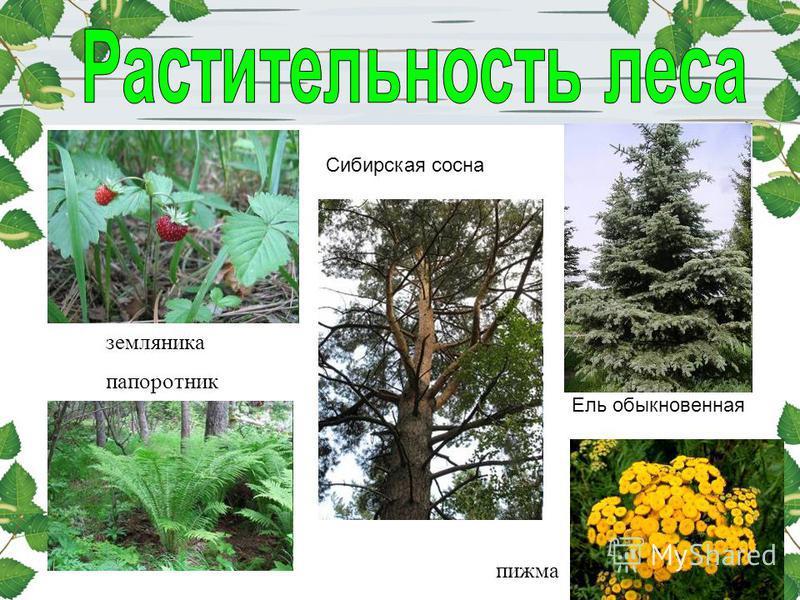 папоротник пижма Сибирская сосна земляника Ель обыкновенная