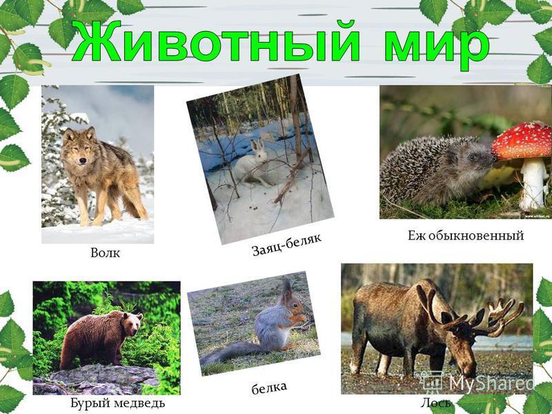 Еж обыкновенный Заяц-беляк Волк Лось белка Бурый медведь