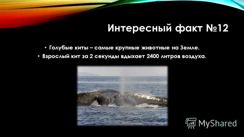 Интересный факт 12 Голубые киты – самые крупные животные на Земле. Взрослый кит за 2 секунды вдыхает 2400 литров воздуха.