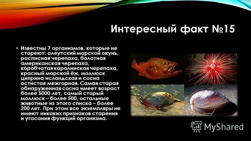 Интересный факт 15 Известны 7 организмов, которые не стареют: алеутский морской окунь, расписная черепаха, болотная американская черепаха, коробчатая каролинская черепаха, красный морской ёж, моллюск циприна исландская и сосна остистая межгорная. Сам
