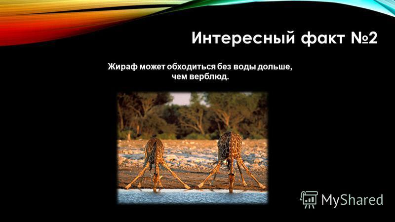 Интересный факт 2 Жираф может обходиться без воды дольше, чем верблюд.