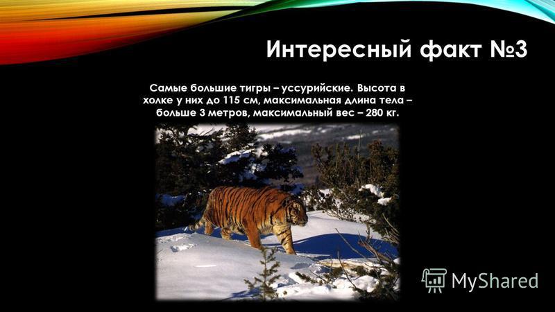 Интересный факт 3 Самые большие тигры – уссурийские. Высота в холке у них до 115 см, максимальная длина тела – больше 3 метров, максимальный вес – 280 кг.