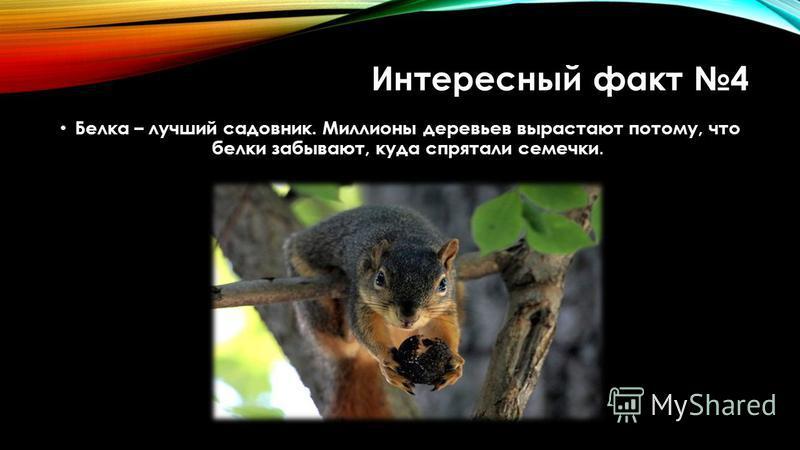Интересный факт 4 Белка – лучший садовник. Миллионы деревьев вырастают потому, что белки забывают, куда спрятали семечки.