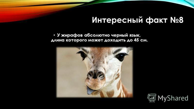 Интересный факт 8 У жирафов абсолютно черный язык, длина которого может доходить до 45 см.