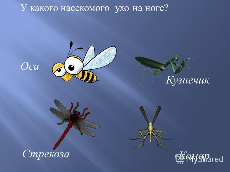 У какого насекомого ухо на ноге ? Кузнечик Комар Оса Стрекоза
