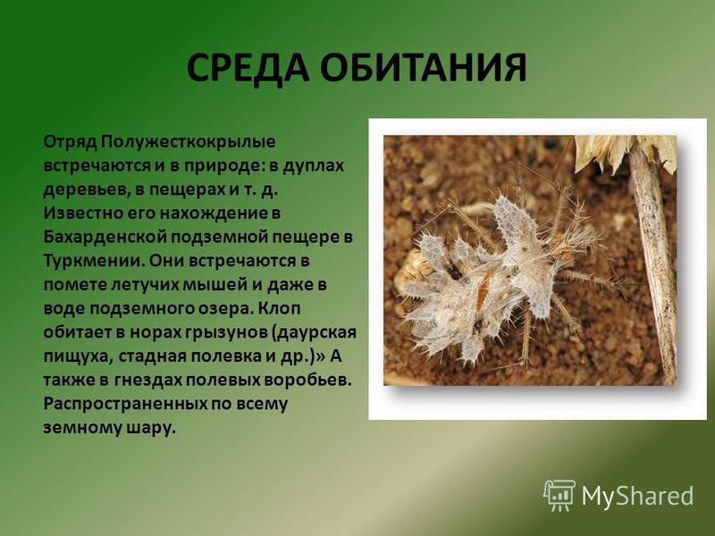 СРЕДА ОБИТАНИЯ Отряд Полужесткокрылые встречаются и в природе: в дуплах деревьев, в пещерах и т. д. Известно его нахождение в Бахарденской подземной пещере в Туркмении. Они встречаются в помете летучих мышей и даже в воде подземного озера. Клоп обита