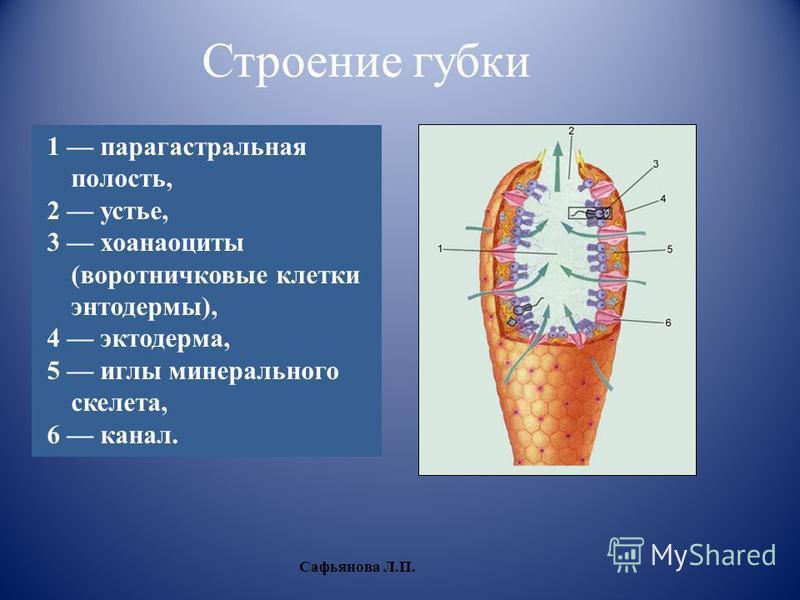 1 парагастральная полость, 2 устье, 3 хоаноциты (воротничковые клетки энтодермы), 4 эктодерма, 5 иглы минерального скелета, 6 канал. Строение губки Сафьянова Л.П.