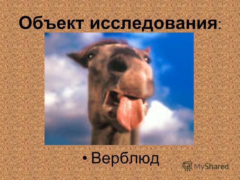 Объект исследования : Верблюд