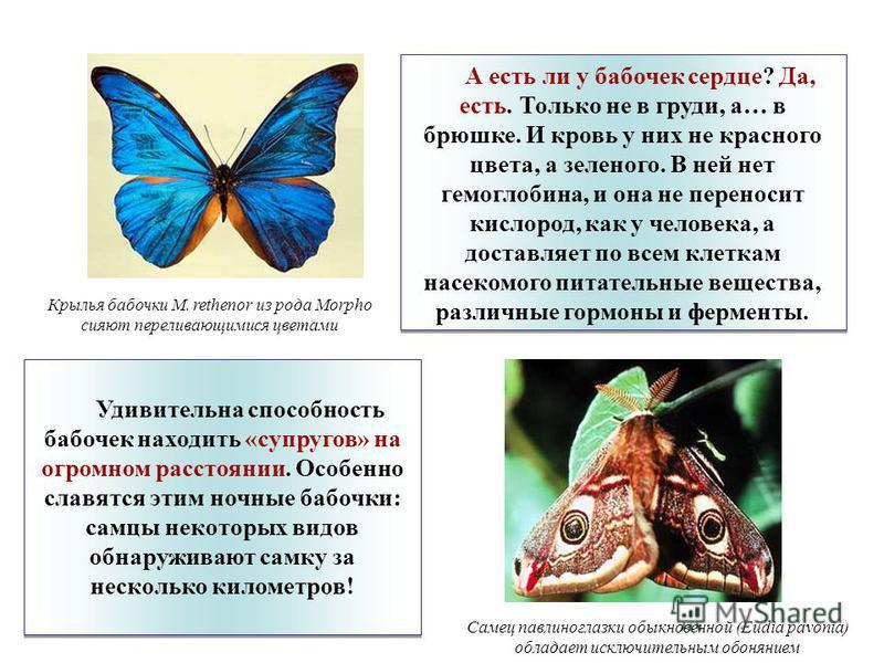 А есть ли у бабочек сердце? Да, есть. Только не в груди, а… в брюшке. И кровь у них не красного цвета, а зеленого. В ней нет гемоглобина, и она не переносит кислород, как у человека, а доставляет по всем клеткам насекомого питательные вещества, разли