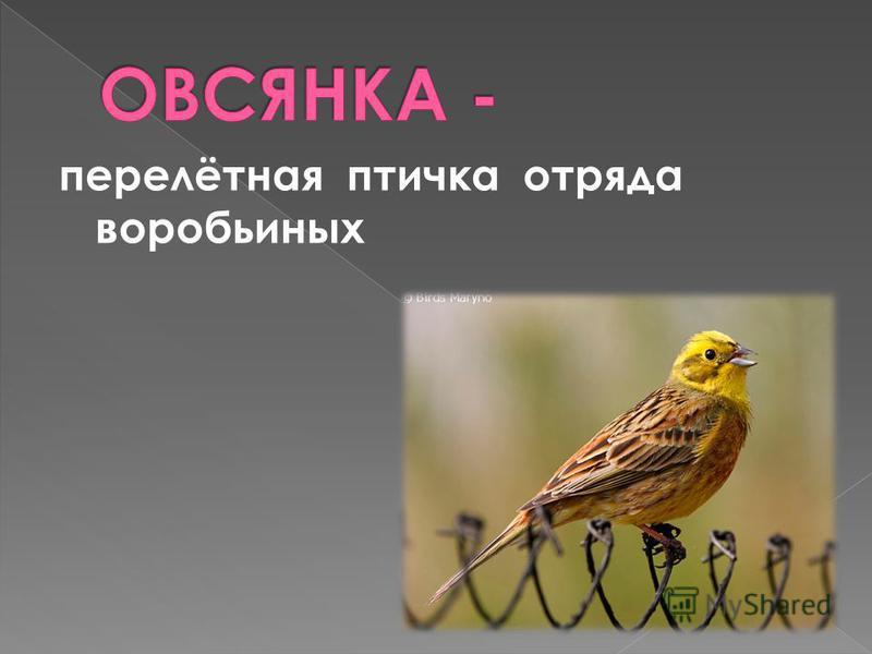 перелётная птичка отряда воробьиных