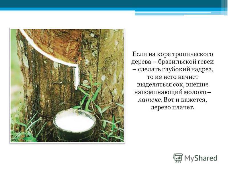 Если на коре тропического дерева – бразильской гевеи – сделать глубокий надрез, то из него начнет выделяться сок, внешне напоминающий молоко – латекс. Вот и кажется, дерево плачет.