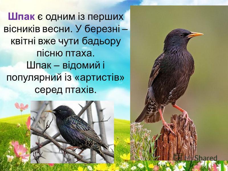 Шпак є одним із перших вісників весни. У березні – квітні вже чути бадьору пісню птаха. Шпак – відомий і популярний із «артистів» серед птахів.