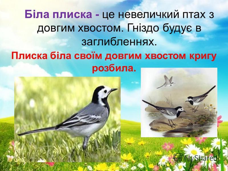 Біла плиска - це невеличкий птах з довгим хвостом. Гніздо будує в заглибленнях. Плиска біла своїм довгим хвостом кригу розбила.