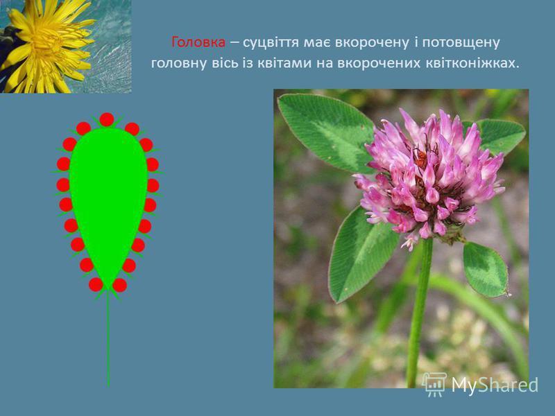 Головка – суцвіття має вкорочену і потовщену головну вісь із квітами на вкорочених квітконіжках.